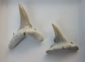 PAIR OF CARCHARIAS TEETH -  MIOCENE, NORTH CAROLINA.
